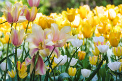 Tulips blooming Stock Photography