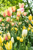 Tulips blooming Royalty Free Stock Photo