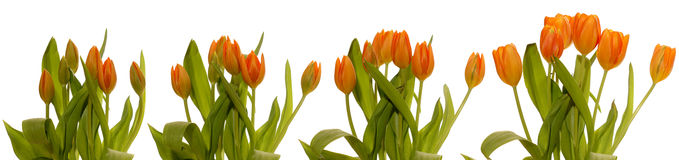 Tulips Blooming Series. Time lapse series of tulips blooming Royalty Free Stock Photo