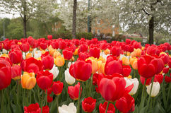 Tulips. Blooming tulips in the spring taken in Stockholm, Sweden stock image