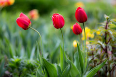 Tulips. Blooming Tulips in spring time Stock Images