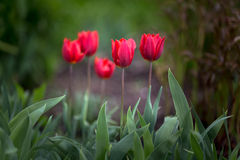 Tulips. Blooming Tulips in spring time Royalty Free Stock Photography