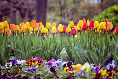 Tulips. Blooming Tulips in spring time Royalty Free Stock Photos