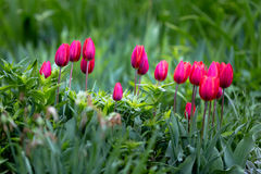 Tulips. Blooming Tulips in spring time Royalty Free Stock Image