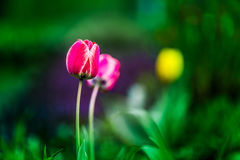 Tulips. Blooming Tulips in spring time Stock Photography