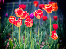 Tulips. Blooming Tulips in spring time Stock Photo