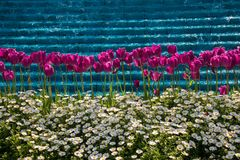 Tulips Blooming in Spring. Tulip Flowers Blooming in Spring Season Royalty Free Stock Photography