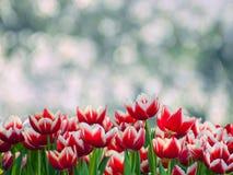 Tulips Blossom Royalty Free Stock Photos