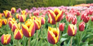 Tulips in blossom stock photos