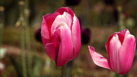 Tulips in blossom stock video footage