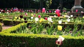 Tulips blossom. Shot of tulips blossom stock footage