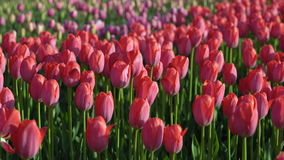 Tulips blossomed. Fresh flowers tulips swaying in the wind. A large number of tulips with pink buds create a pink field. The eveni stock footage