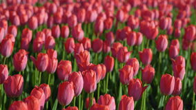 Tulips blossomed. Fresh flowers tulips swaying in the wind. A large number of tulips with pink buds create a pink field. The eveni. Ng sun beautifully stock video