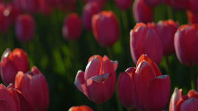 Tulips blossomed. Fresh flowers tulips swaying in the wind. A large number of tulips with red buds create a red field. The evening. Sun beautifully illuminates stock footage