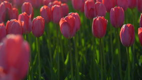 Tulips blossomed. Fresh flowers tulips swaying in the wind. A large number of tulips with red buds create a red field. The evening. Sun beautifully illuminates stock video