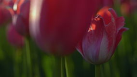 Tulips blossomed. Fresh flowers tulips swaying in the wind. A large number of tulips with red buds create a red field. The evening stock footage