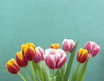 Tulips on a blue background. stock image