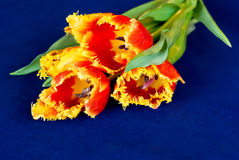 Tulips on blue cloth Royalty Free Stock Photography