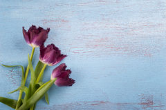 Tulips on blue red wood background Royalty Free Stock Photography