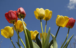 Tulips on blue sky Royalty Free Stock Image