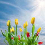 Tulips on blue sky background Stock Photos