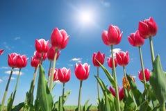 Tulips on blue sky. Stock Photography