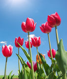Tulips on blue sky. Royalty Free Stock Photography