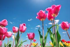 Tulips on blue sky. Stock Photo