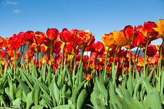 Tulips With Blue Sky Stock Photo