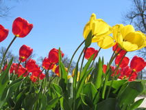 Red and Yellow Tulips with Blue Sky Background royalty free stock photography