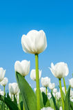 Tulips and blue sky in spring. Stock Photo