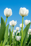 Tulips and blue sky in spring. Stock Photography