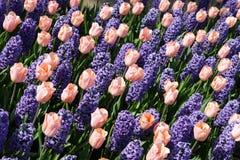 Tulips and bluebells. Keukenhof, the Netherlands Royalty Free Stock Images