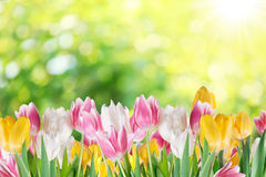 Tulips on a blur background. Royalty Free Stock Photography