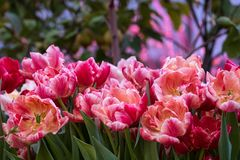 Tulips on a blurred background royalty free stock image
