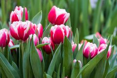 Tulips on a blurred background stock photography