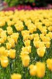 Tulips bonitos Fotografia de Stock