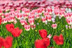 Tulips bonitos Imagens de Stock