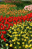 Tulips bonitos foto de stock