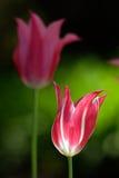 Tulips bonitos Imagem de Stock Royalty Free