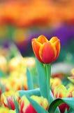 Tulips bonitos Foto de Stock