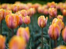 Tulips bonitos Fotos de Stock Royalty Free