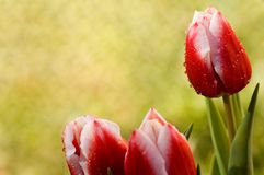 Tulips border. Three dewy tulips on a yellow and green blur background Stock Photography