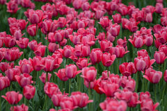 Tulips in botanical garden in Kiev Royalty Free Stock Photo