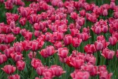 Tulips in botanical garden in Kiev. Spring 2014 Royalty Free Stock Photo