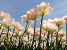 Tulips. From bottom up against the blue sky royalty free stock image