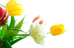 Tulips in bouqet Stock Image