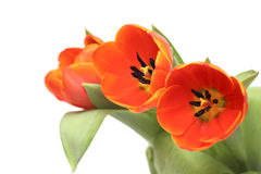 Tulips bouquet. Close up of tulips bouquet in green paper vase on white background Royalty Free Stock Photography