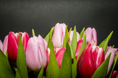 Tulips. Bouquet of tulips with black background Royalty Free Stock Image