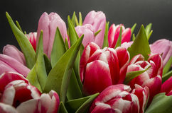 Tulips. Bouquet of tulips with black background Stock Photo